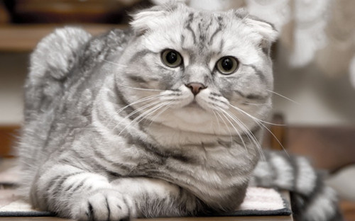 折耳猫的骨骼遗传病不限于幼猫身上